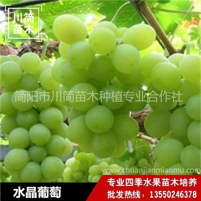 水晶葡萄树苗
