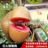 红心猕猴桃树苗
