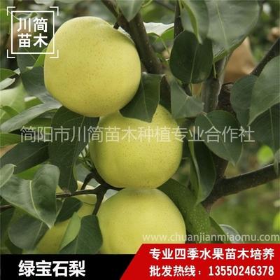 绿宝石梨树苗