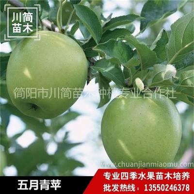五月青苹树苗