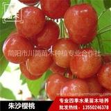 朱沙樱桃树苗