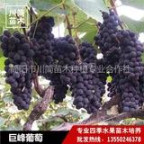 巨峰葡萄树苗