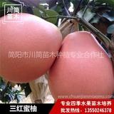 三红柚树苗