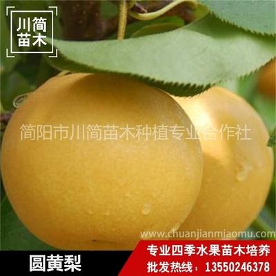 圆黄梨树苗